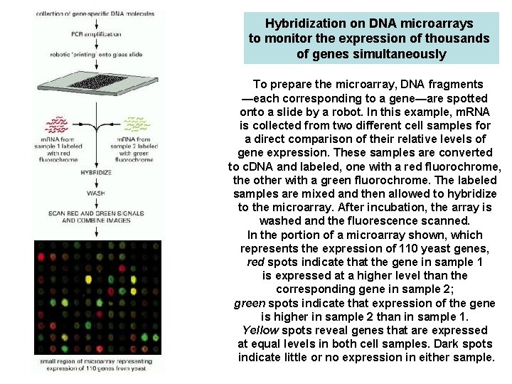 Hybridization on DNA microarrays to monitor the expression of thousands of genes simultaneously To