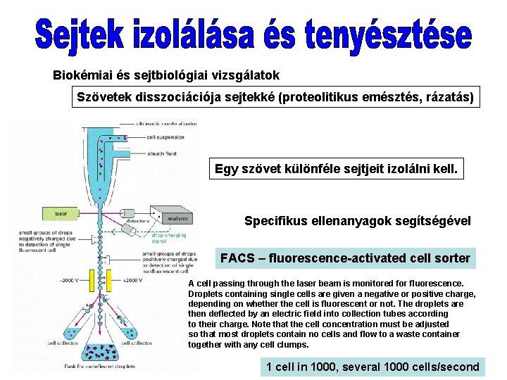 Biokémiai és sejtbiológiai vizsgálatok Szövetek disszociációja sejtekké (proteolitikus emésztés, rázatás) Egy szövet különféle sejtjeit