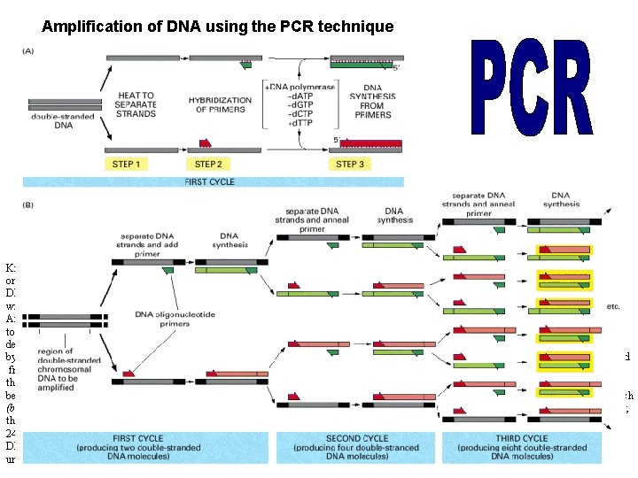 Amplification of DNA using the PCR technique Knowledge of the DNA sequence to be
