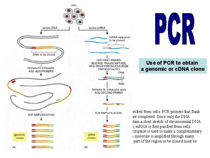 Use of PCR to obtain a genomic or c. DNA clone (A) To obtain