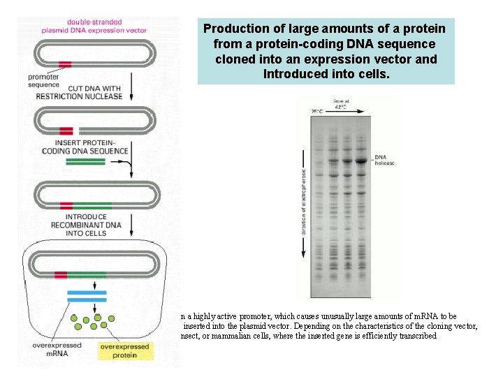Production of large amounts of a protein from a protein-coding DNA sequence cloned into