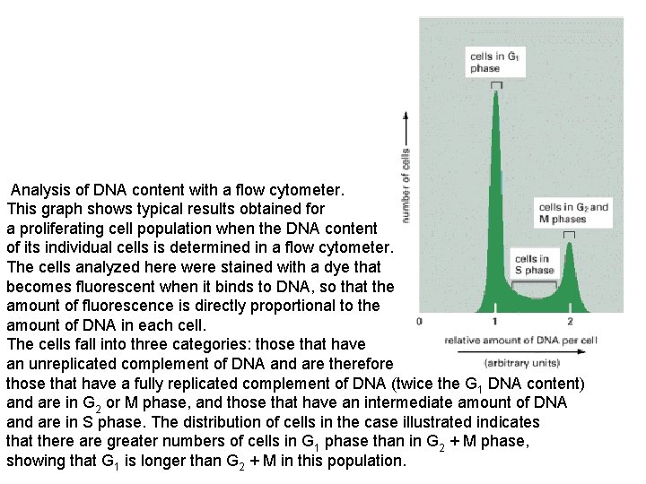 Analysis of DNA content with a flow cytometer. This graph shows typical results