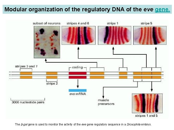 Modular organization of the regulatory DNA of the eve gene. Cloned fragments of the