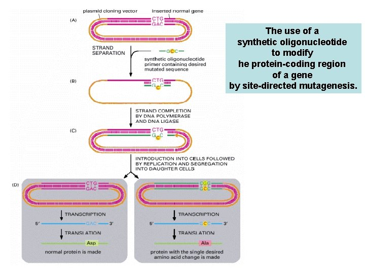 The use of a synthetic oligonucleotide to modify he protein-coding region of a gene