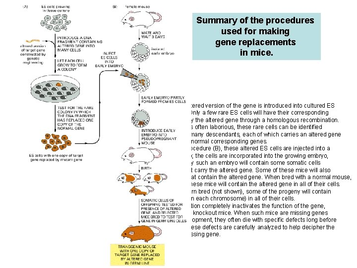 Summary of the procedures used for making gene replacements in mice. In the first