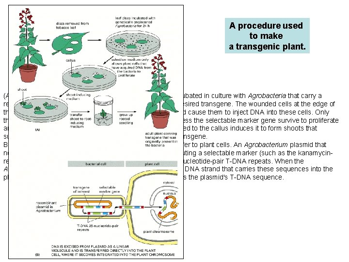 A procedure used to make a transgenic plant. (A) Outline of the process. A