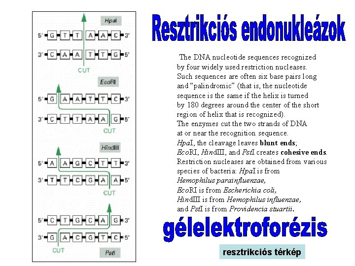 The DNA nucleotide sequences recognized by four widely used restriction nucleases. Such sequences
