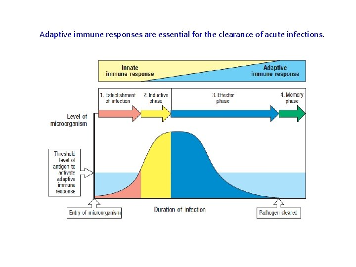 Adaptive immune responses are essential for the clearance of acute infections.