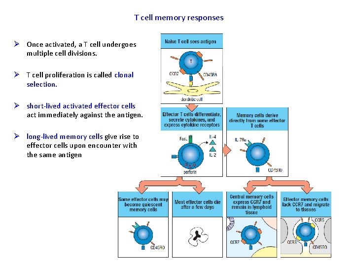 T cell memory responses Ø Once activated, a T cell undergoes multiple cell divisions.