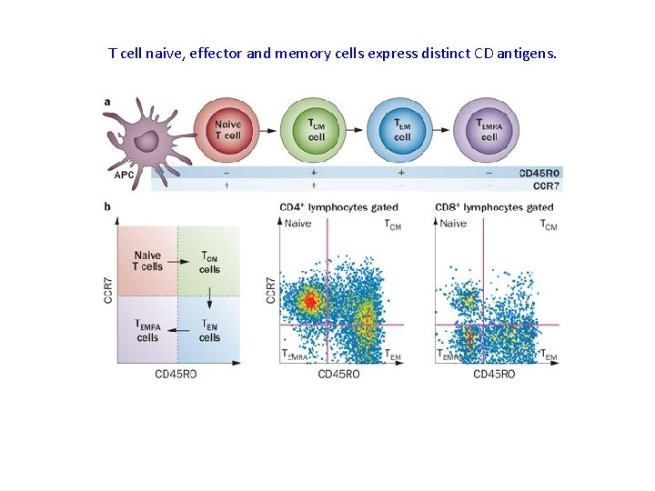 T cell naive, effector and memory cells express distinct CD antigens.