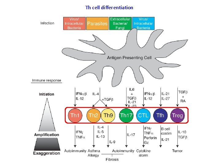Th cell differentiation