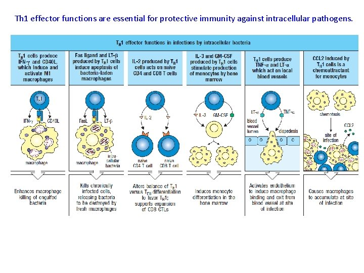 Th 1 effector functions are essential for protective immunity against intracellular pathogens.