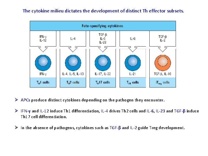 The cytokine milieu dictates the development of distinct Th effector subsets. Ø APCs produce