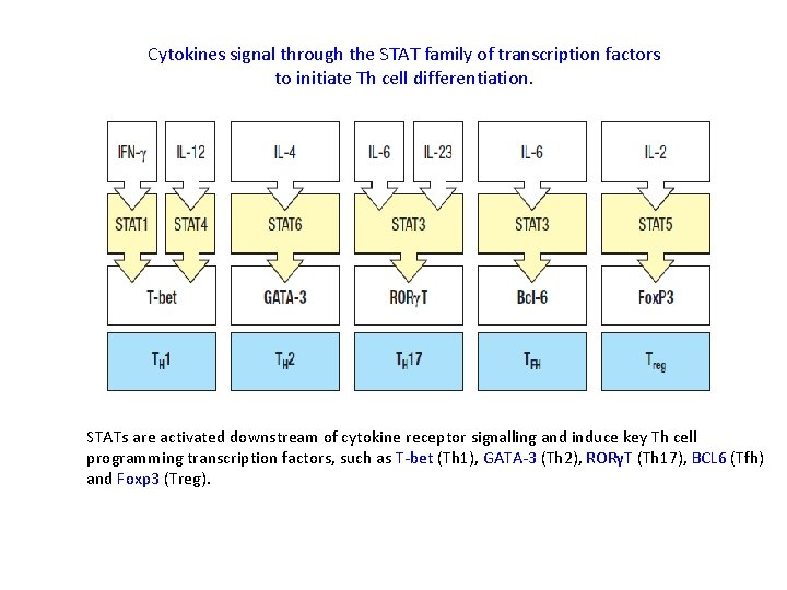 Cytokines signal through the STAT family of transcription factors to initiate Th cell differentiation.