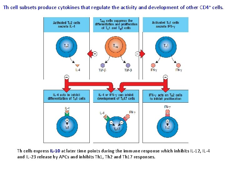 Th cell subsets produce cytokines that regulate the activity and development of other CD