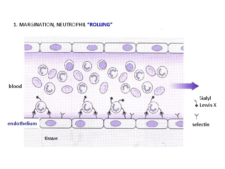 "1. MARGINATION, NEUTROPHIL ""ROLLING"" blood Sialyl Lewis X endothelium selectin tissue"