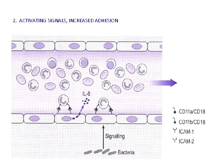 2. ACTIVATING SIGNALS, INCREASED ADHESION