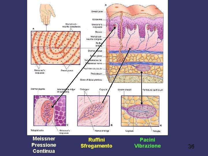 Meissner Pressione Continua Ruffini Sfregamento Pacini Vibrazione 36