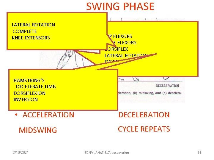 SWING PHASE LATERAL ROTATION COMPLETE KNEE EXTENSORS HIP FLEXORS KNEE FLEXORS DORSIFLEX LATERAL ROTATION