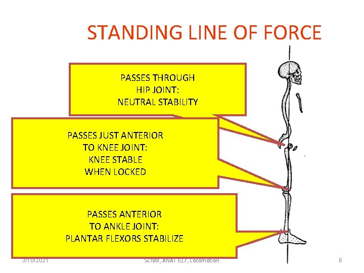 STANDING LINE OF FORCE PASSES THROUGH HIP JOINT: NEUTRAL STABILITY PASSES JUST ANTERIOR TO