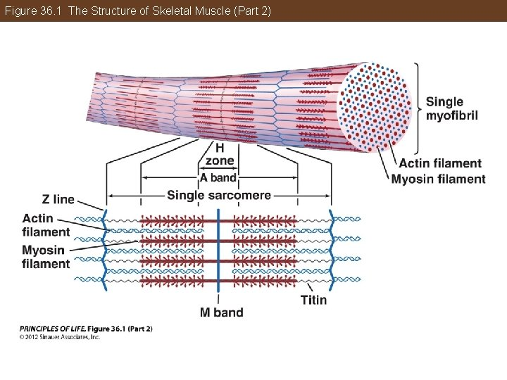 Figure 36. 1 The Structure of Skeletal Muscle (Part 2)