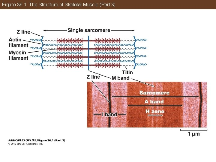 Figure 36. 1 The Structure of Skeletal Muscle (Part 3)