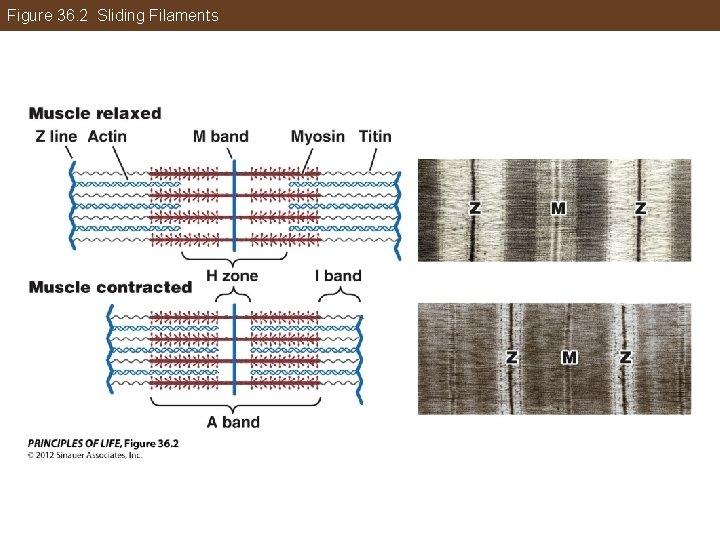 Figure 36. 2 Sliding Filaments