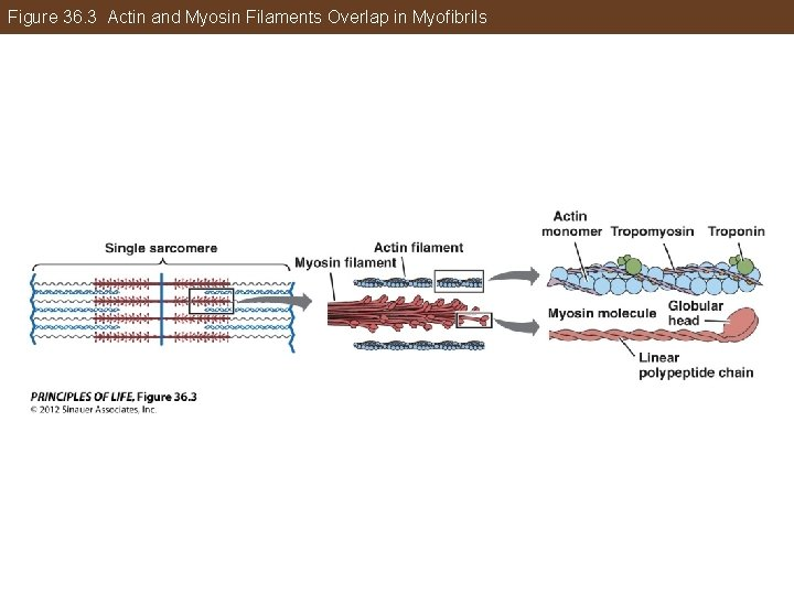 Figure 36. 3 Actin and Myosin Filaments Overlap in Myofibrils