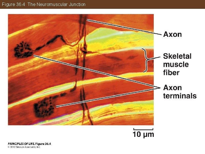 Figure 36. 4 The Neuromuscular Junction