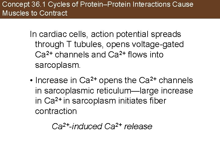 Concept 36. 1 Cycles of Protein–Protein Interactions Cause Muscles to Contract In cardiac cells,