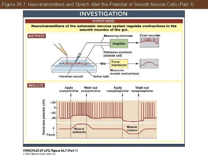 Figure 36. 7 Neurotransmitters and Stretch Alter the Potential of Smooth Muscle Cells (Part