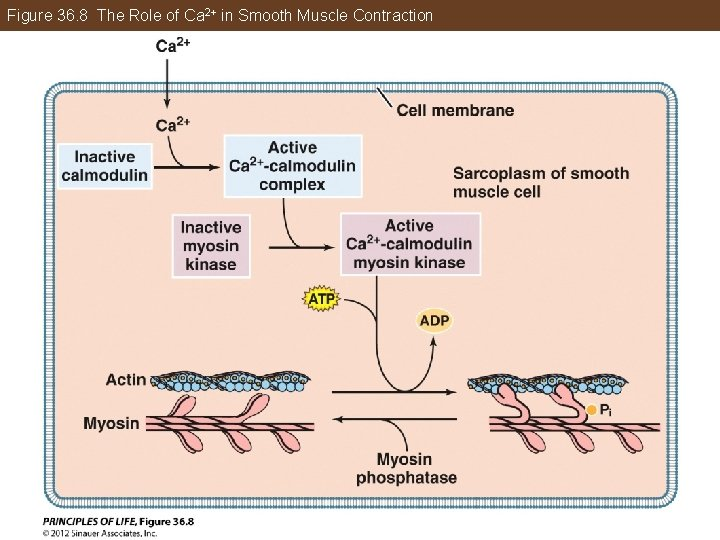 Figure 36. 8 The Role of Ca 2+ in Smooth Muscle Contraction