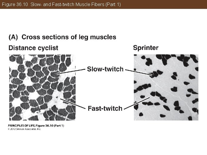 Figure 36. 10 Slow- and Fast-twitch Muscle Fibers (Part 1)