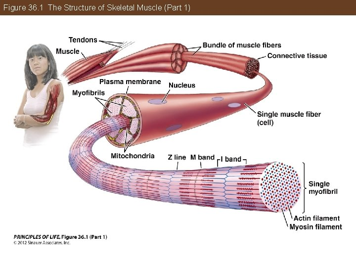 Figure 36. 1 The Structure of Skeletal Muscle (Part 1)