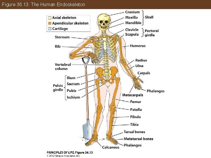 Figure 36. 13 The Human Endoskeleton