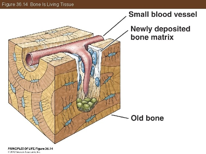 Figure 36. 14 Bone Is Living Tissue