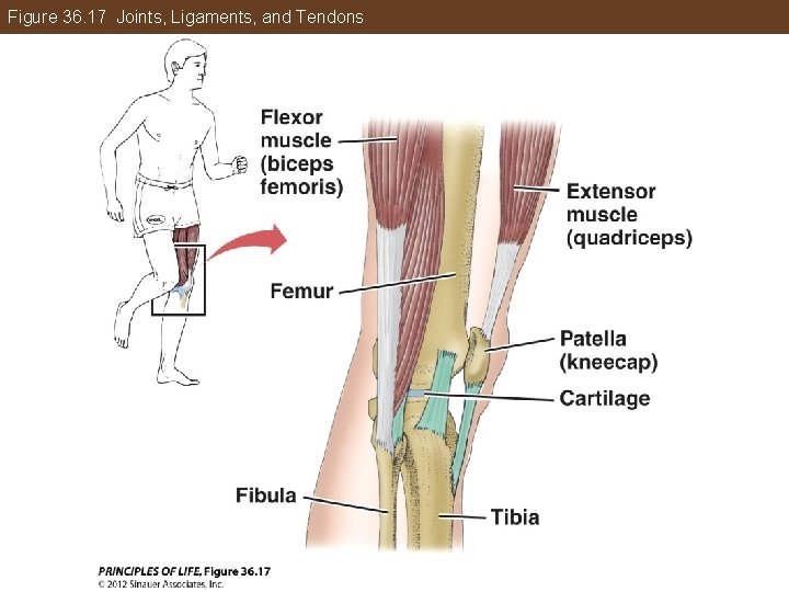 Figure 36. 17 Joints, Ligaments, and Tendons
