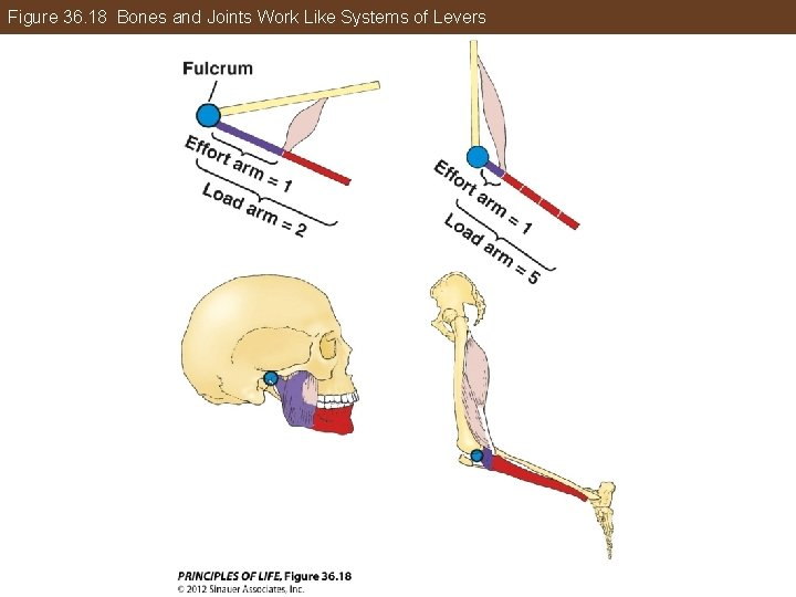 Figure 36. 18 Bones and Joints Work Like Systems of Levers