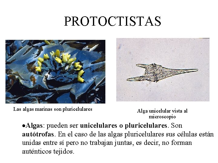 PROTOCTISTAS Las algas marinas son pluricelulares Alga unicelular vista al microscopio ·Algas: pueden ser