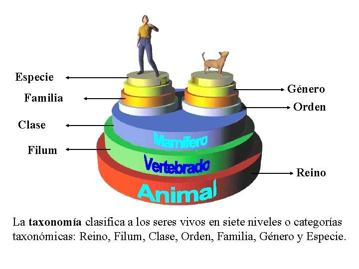 Especie Familia Género Orden Clase Filum Reino La taxonomía clasifica a los seres vivos
