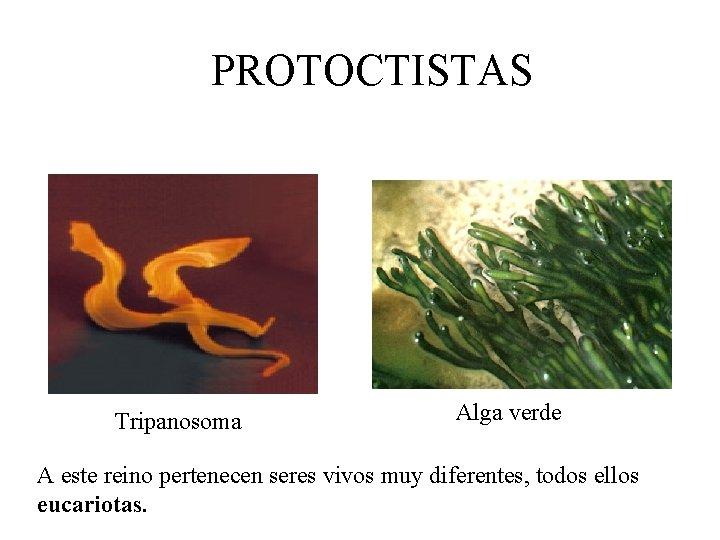PROTOCTISTAS Tripanosoma Alga verde A este reino pertenecen seres vivos muy diferentes, todos ellos