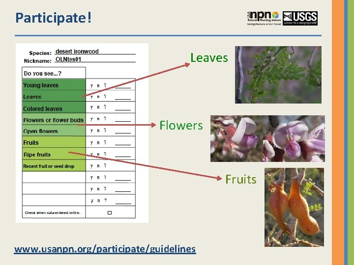 Participate! Leaves Flowers Fruits www. usanpn. org/participate/guidelines