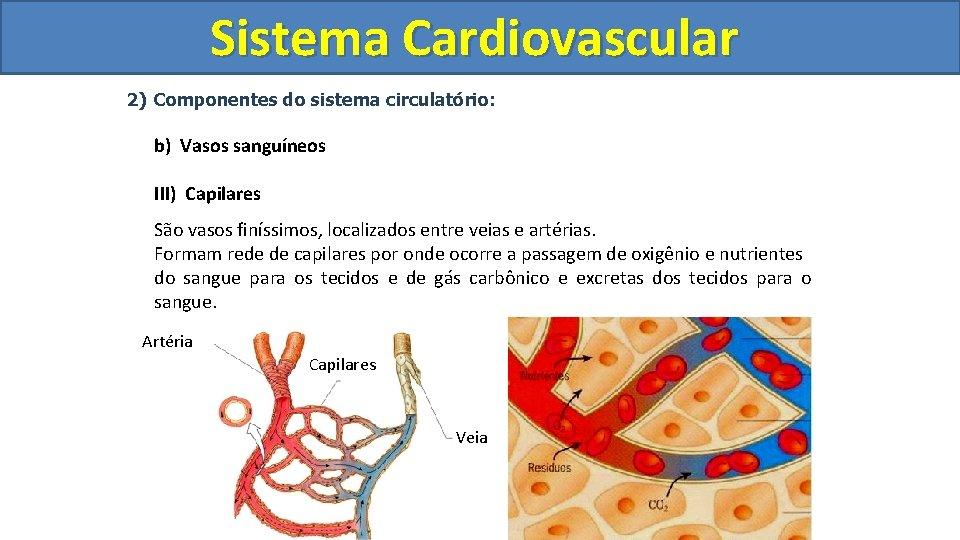 Sistema Cardiovascular Circulatório 2) Componentes do sistema circulatório: b) Vasos sanguíneos III) Capilares São