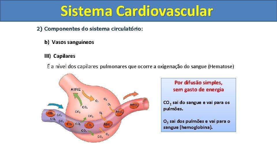Sistema Cardiovascular Circulatório 2) Componentes do sistema circulatório: b) Vasos sanguíneos III) Capilares É