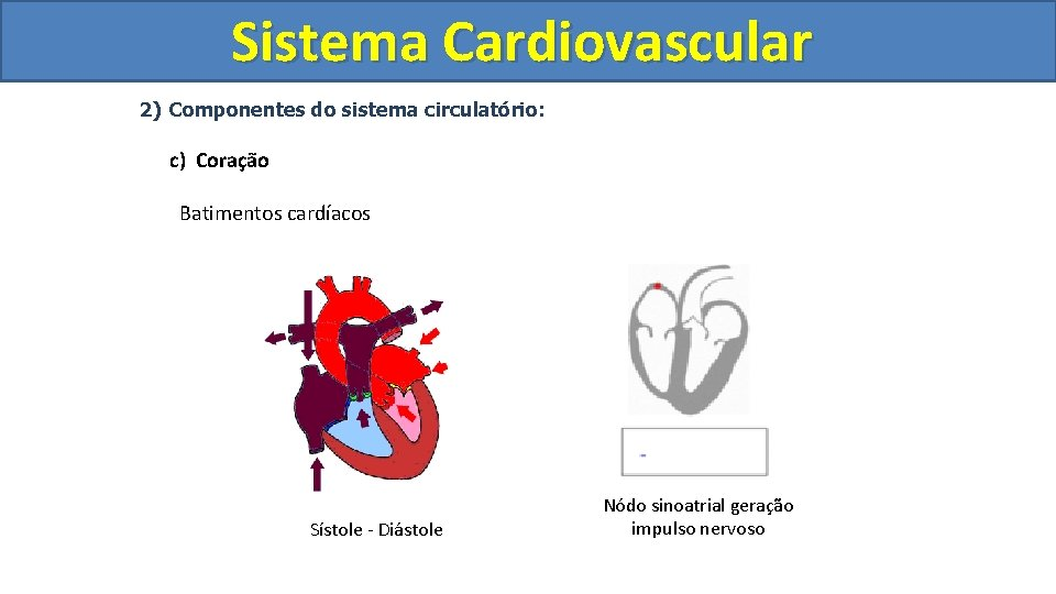 Sistema Cardiovascular Circulatório 2) Componentes do sistema circulatório: c) Coração Batimentos cardíacos Sístole -