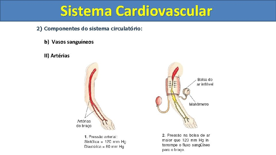 Sistema Cardiovascular Circulatório 2) Componentes do sistema circulatório: b) Vasos sanguíneos II) Artérias