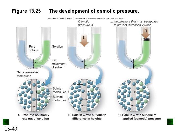 Figure 13. 25 13 -43 The development of osmotic pressure.