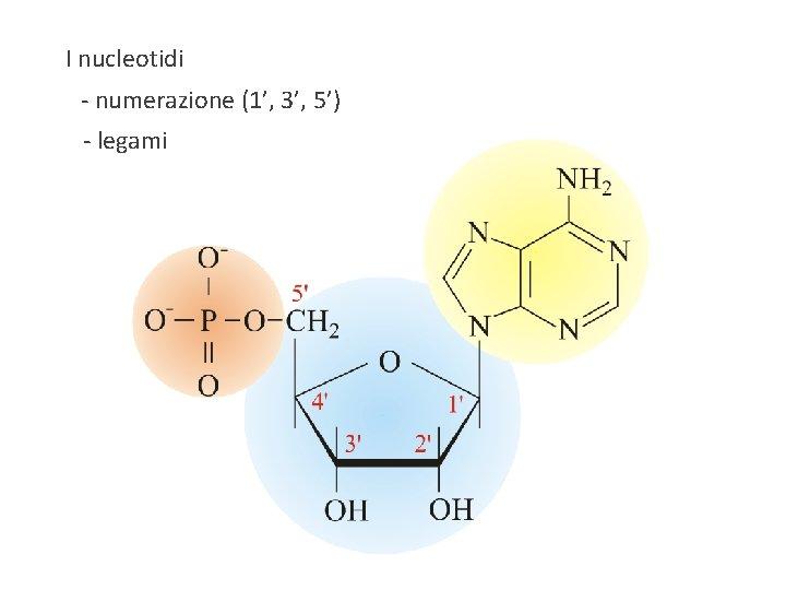 I nucleotidi - numerazione (1', 3', 5') - legami