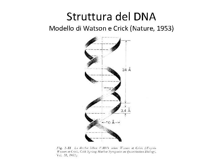 Struttura del DNA Modello di Watson e Crick (Nature, 1953)