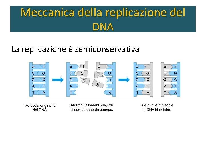 Meccanica della replicazione del DNA La replicazione è semiconservativa